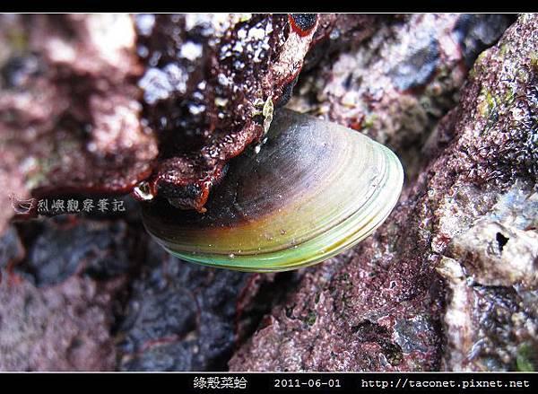 綠殼菜蛤_01.jpg