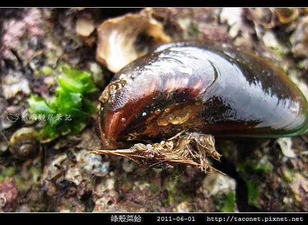 綠殼菜蛤_04.jpg