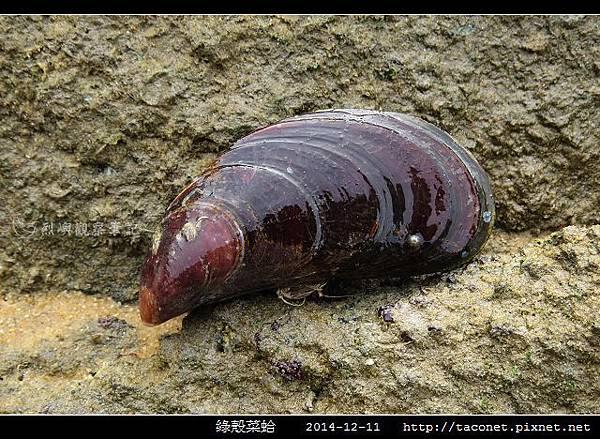 綠殼菜蛤_05.jpg