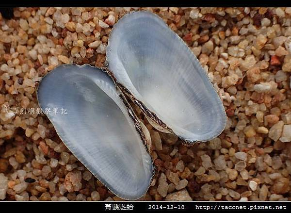 青鬍魁蛤_09.jpg