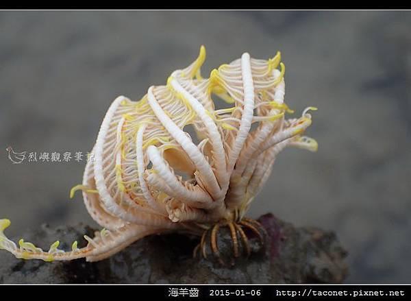 海羊齒_17.jpg