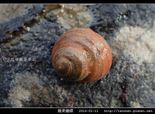 龍骨鐘螺_05.jpg