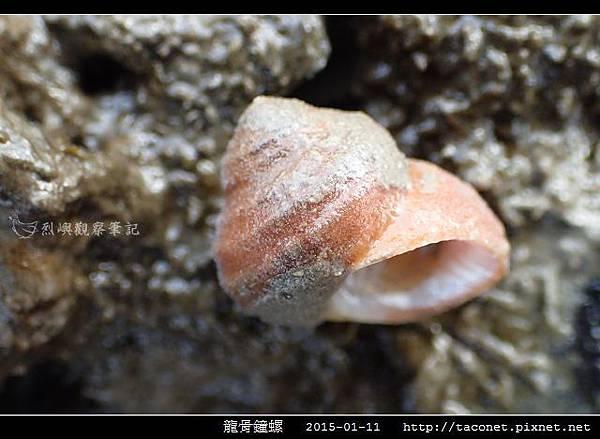 龍骨鐘螺_08.jpg