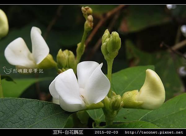 豆科-白花鵲豆_01.jpg