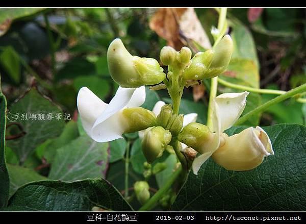 豆科-白花鵲豆_05.jpg