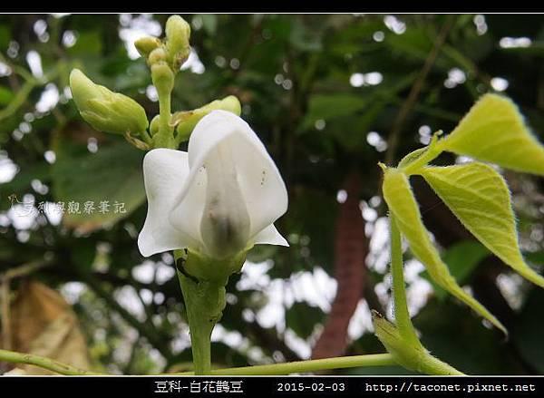 豆科-白花鵲豆_08.jpg