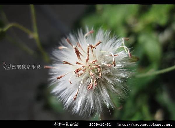菊科-紫背草_01.jpg