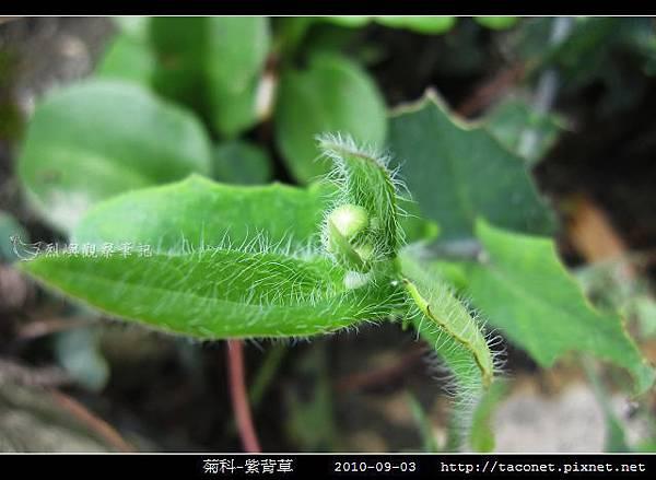 菊科-紫背草_02.jpg