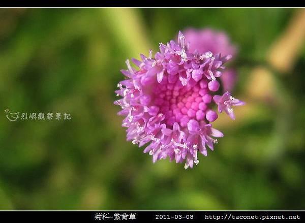 菊科-紫背草_03.jpg
