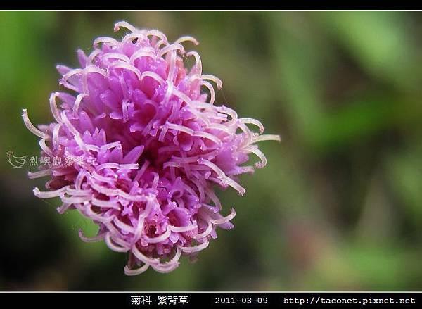 菊科-紫背草_04.jpg