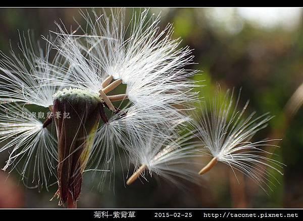 菊科-紫背草_07.jpg