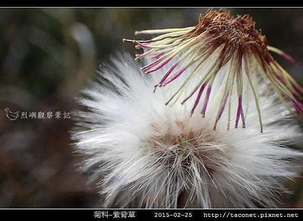 菊科-紫背草_05.jpg