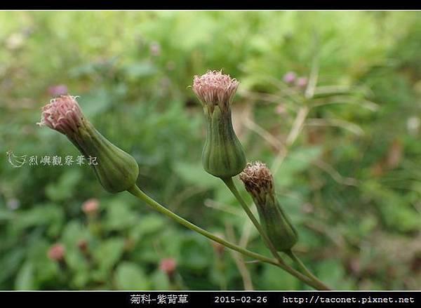 菊科-紫背草_08.jpg