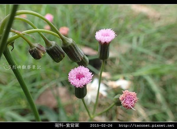 菊科-紫背草_10.jpg