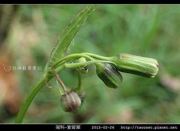 菊科-紫背草_12.jpg