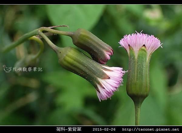菊科-紫背草_11.jpg
