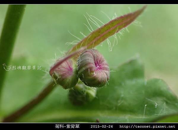 菊科-紫背草_13.jpg