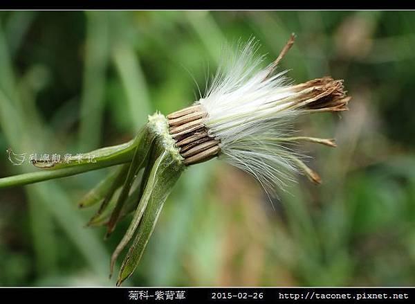 菊科-紫背草_14.jpg