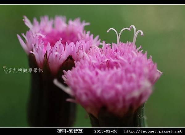菊科-紫背草_15.jpg