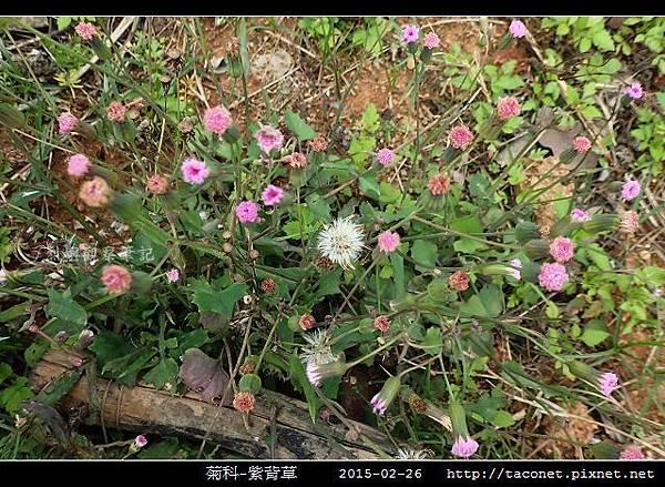 菊科-紫背草_16.jpg