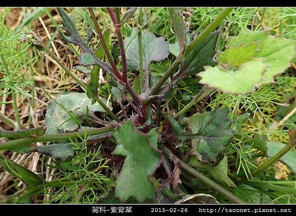 菊科-紫背草_17.jpg