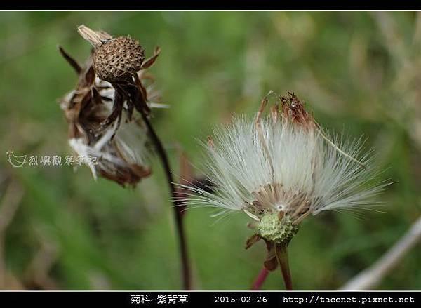菊科-紫背草_18.jpg