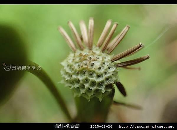 菊科-紫背草_19.jpg