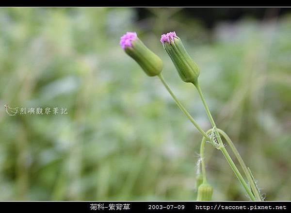 菊科-紫背草_20.jpg