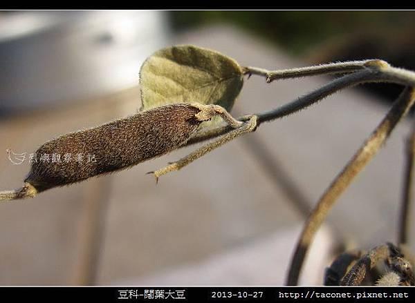 豆科-闊葉大豆_08.jpg