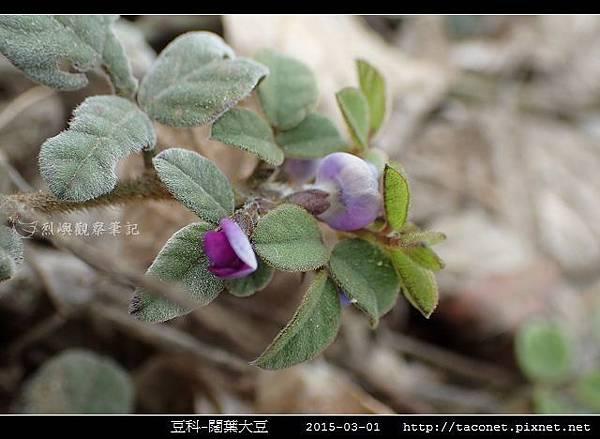 豆科-闊葉大豆_09.jpg