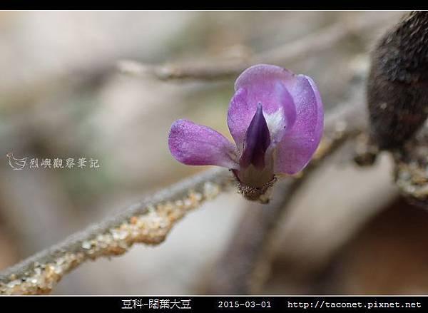 豆科-闊葉大豆_13.jpg