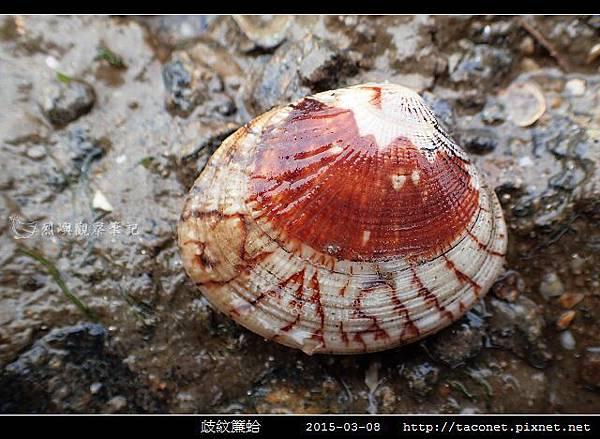 歧紋簾蛤_08.jpg
