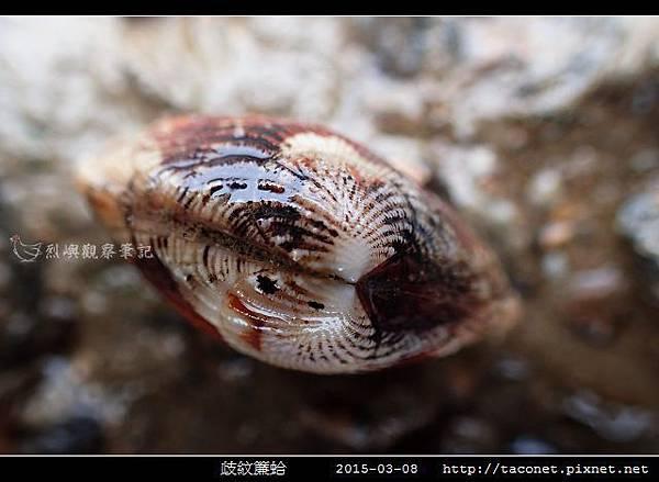 歧紋簾蛤_09.jpg