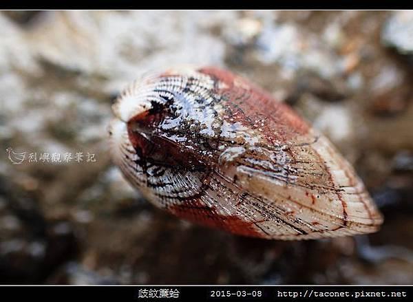 歧紋簾蛤_10.jpg