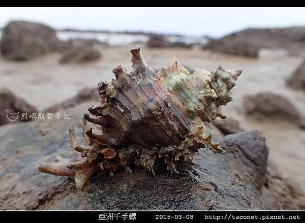 亞洲千手螺_06.jpg