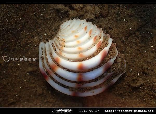 小蛋糕簾蛤-5.jpg