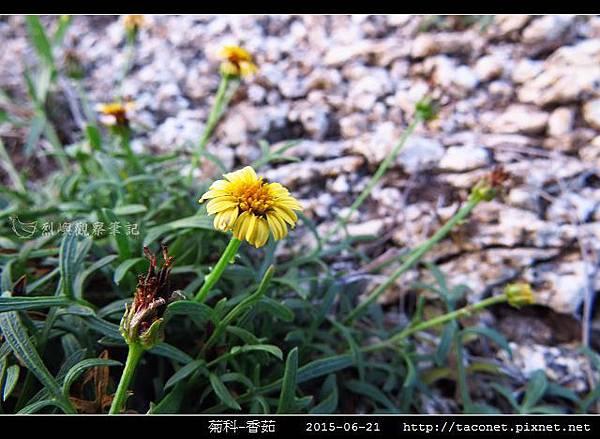 菊科-香茹_16.jpg
