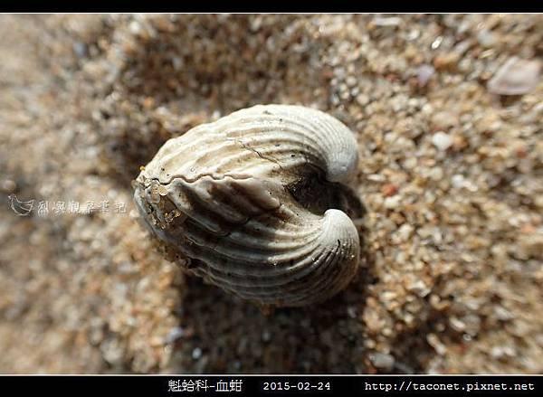 魁蛤科-血蚶_03.jpg