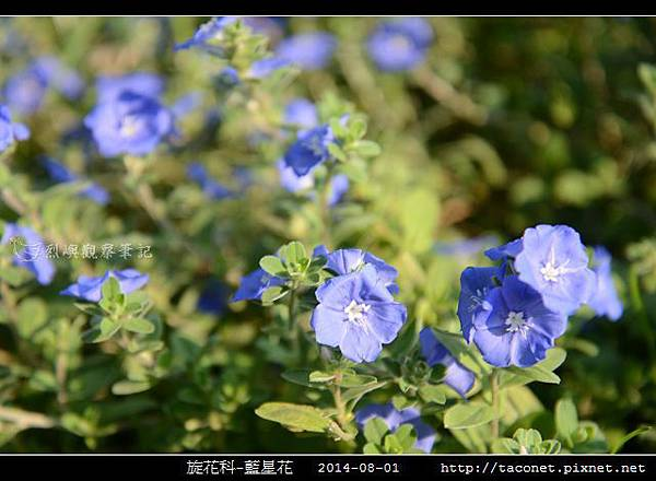 旋花科-藍星花_02.jpg