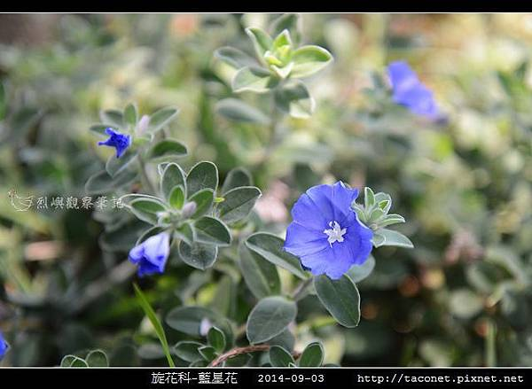 旋花科-藍星花_03.jpg