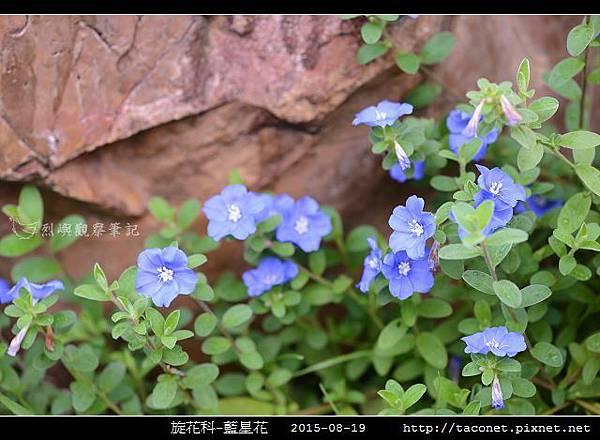 旋花科-藍星花_05.jpg