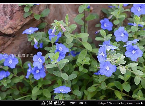 旋花科-藍星花_06.jpg