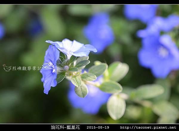 旋花科-藍星花_07.jpg