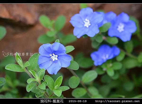 旋花科-藍星花_09.jpg