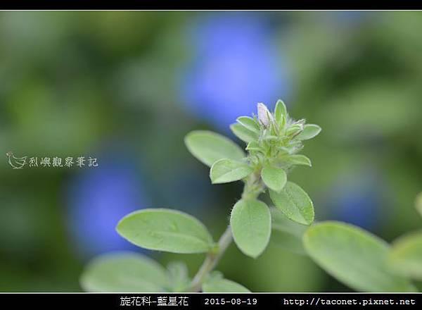 旋花科-藍星花_10.jpg