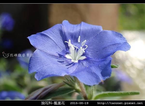 旋花科-藍星花_11.jpg