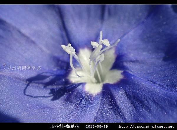 旋花科-藍星花_13.jpg
