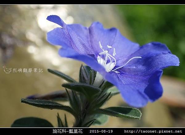 旋花科-藍星花_14.jpg