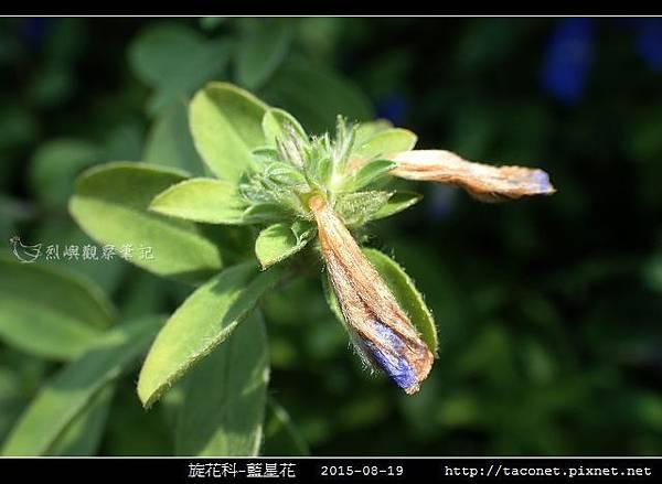 旋花科-藍星花_15.jpg