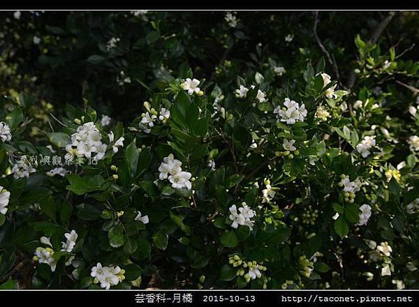 芸香科-月橘 _01.jpg